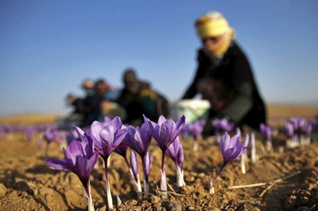 چیدن گلها و جدا کردن کلاله زعفران